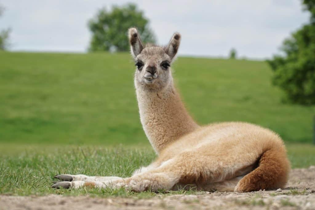 Mundenhof Tierpatenschaft Lama